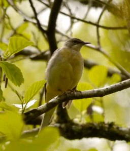 Grey Wagtail, female, Cannop Ponds, fledging family (3)