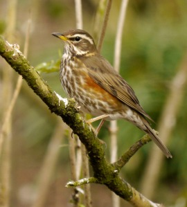 Redwing, Spinney, 7 April 2013, MJMcGill 001