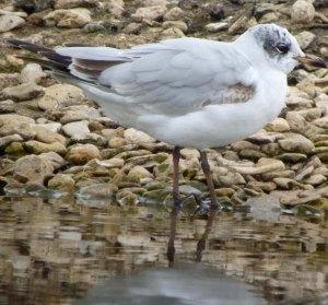 Mediterranean Gull, 1st summer, Rushy, MJMcGill