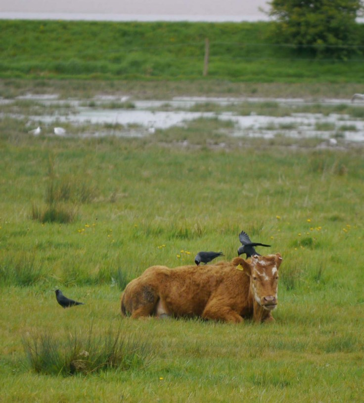 Jackdaws harvesting Cow winter coat for nests, MJMcGill