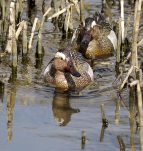 Garganey males, Cannop Ponds, FOD, 3 April 2013, MJMcGill