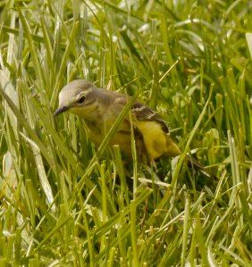Yellow Wagtail, grey headed female, Leighterton, 17 May 2013 MJMcGill