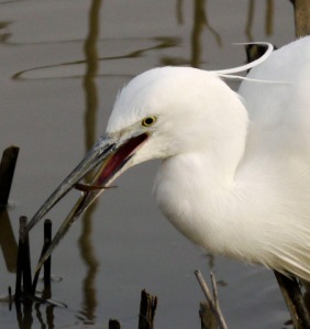 Little Egret with fish, Tack Piece, MJMcGill
