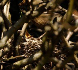 Blackbird nest, garden