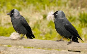 Jackdaws with nest material, MJMcGill