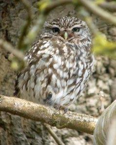 Little Owl, Frampton on Severn, MJMcGill