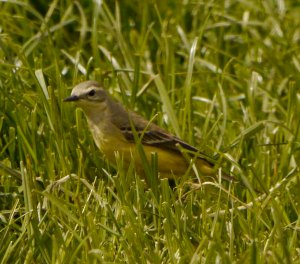 Yellow Wagtail, grey headed female, Leighterton, 17 May 13, MJMcGill