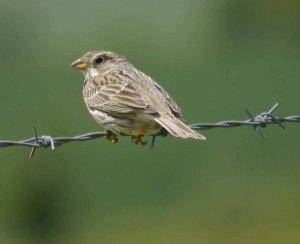 Corn Bunting, Windrush Airfield, MJMcGill, 27 May 13 (10)_edited-1