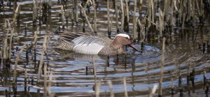 Garganey male, 003, Cannop Ponds, FOD, 3 April 13, MJMcGill