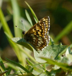 Duke of Burgundy, Rudge Hill, 26 May 13, MJMcGill copy