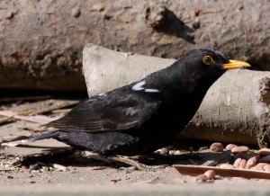 Blackbird with albanism