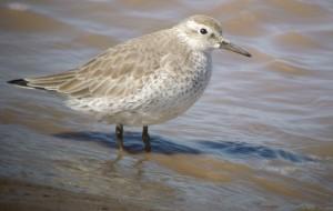 Red Knot, non-breeding plumage, 2 April 13, Severn Estuary, MJMcGill