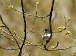 Pied Fly 02