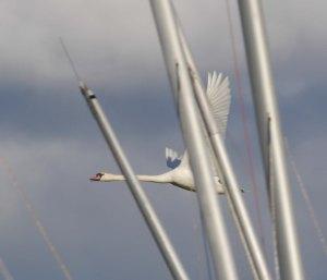 Mute Swan and masts, Frampton