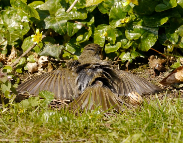 Robin sunning itself, Whitminster garden, 2 May 13, MJMcGill