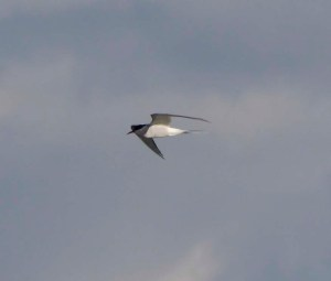 Arctic Tern, Frampton, 29 April 13, MJMcGill