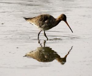 Black tailed Godwit, South Lake, MJMcGill