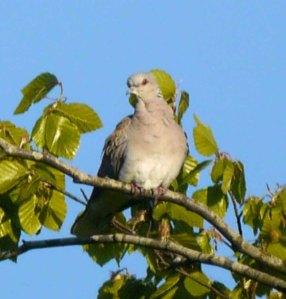 Turtle Dove, Ruardean Hill, 26 May 13, MJMcGill (14) copy