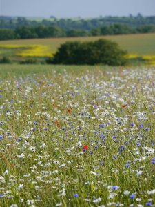 Wildflowers near Tresham, MJMcGill