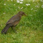 Blackbird, female hunting worms, 7 June 13, MJMcGill (5) copy