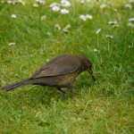 Blackbird, female hunting worms, 7 June 13, MJMcGill (3) copy