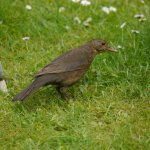 Blackbird, female hunting worms, 7 June 13, MJMcGill (2) copy