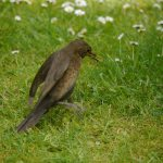 Blackbird, female hunting worms, 7 June 13, MJMcGill (4) copy