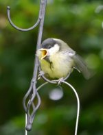 Great Tit, fledgling, 7 June 13, MJMcGill, 001