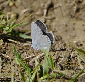 Small (Little) Blue, Selsley Common, _edited-1