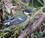 Great Tit, fledgling, 7 June 13, MJMcGill