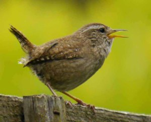 Wren, Whitminster, 6 June 13 (2)_edited-1
