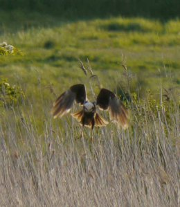Marsh Harrier, Splatt Bridge, MJMcGill (14)_edited-1