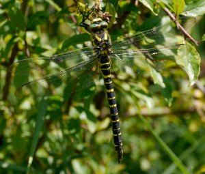 Golden-ringed Dragonfly, WWT Slimbridge, 100 Acre, 11 July 13, MJMcGill (27) copy