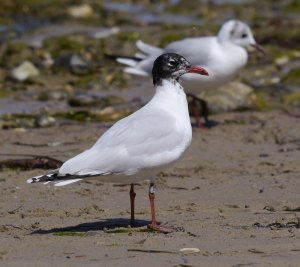 Mediterranean Gull second summer with Black headed Gull, Studland S beach, 21 Jul 13, MJMcGill