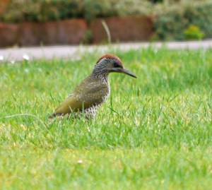 Green Woodpecker, juvenile, 7 Aug 13, MJMcGill