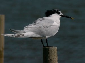 Sandwich Tern, Brownsea Island, July 2013, 004, McGill