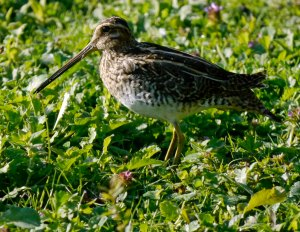 Snipe, South Lake, MJMcGill