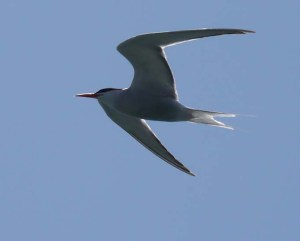 Common Tern, Poole Harbour, July 2013, MJMcGill
