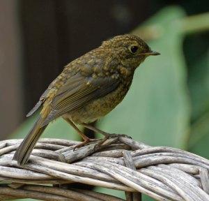 Robin, juvenile, 7 Aug 13, MJMcGill