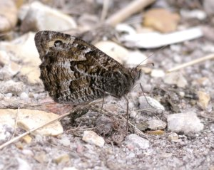 Grayling, Holt Heath, 27 July 13, MJMcGill