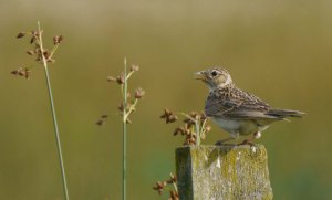 Skylark, 100 Acre, July 13, MJMcGill (2) copy