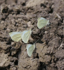 Large White butterflies on Severn estuary mud, MJMcGill