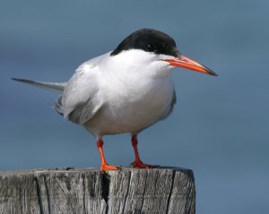 Common Tern, Brownsean Island, July 2013, MJMcGill copy