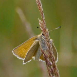 Essex Skipper, BNP, 25 07 13, 001, MJMcGill