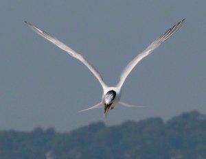 Sandwich Tern, Brownsea Island, 002, 21 07 13, MJMcGill