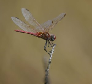 Red veined Darter, Forest of Dean, 3 August 13, MJMcGill
