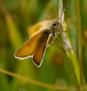 Essex Skipper, BNP, 25 07 13, MJMcGill