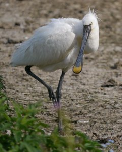 Spoonbill, South Lake, MJMGill
