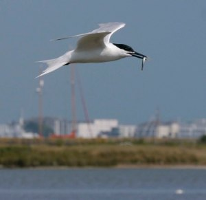 Sandwich Tern, Brownsea Island, 001, 21 Jul 13, MJMcGill