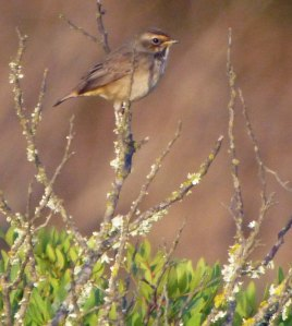 Bluethroat, Rio Formosa, 25 Oct 13, MJMcGill copy